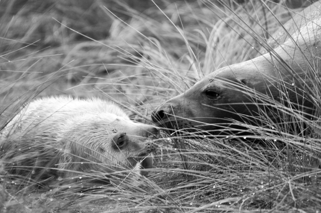 Mother and pup. Donna Nook, Lincs.
