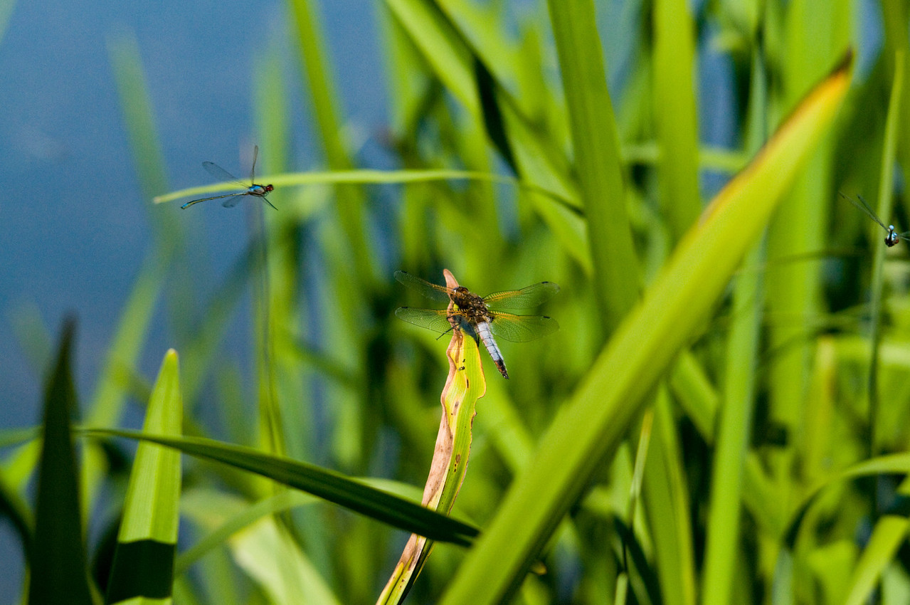 Dragon Fly. Taken at Barnwell Picnic park.