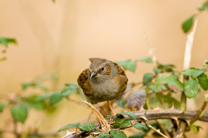 Dunnock taken near Oundle, Northants.
