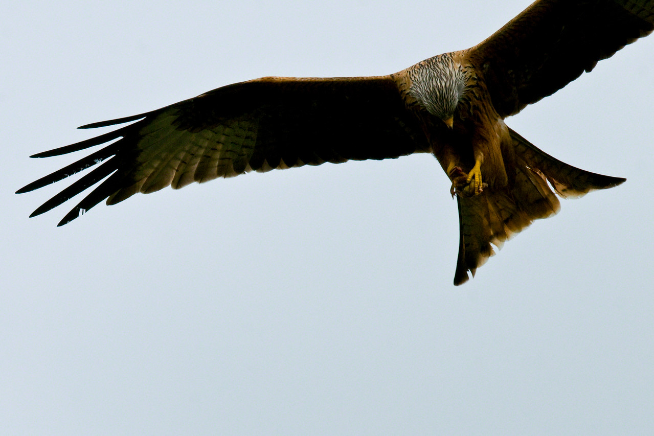 Red Kite over Oundle. Taken from back garden. It has a toad which I saw it pick up from a garden 100m away.