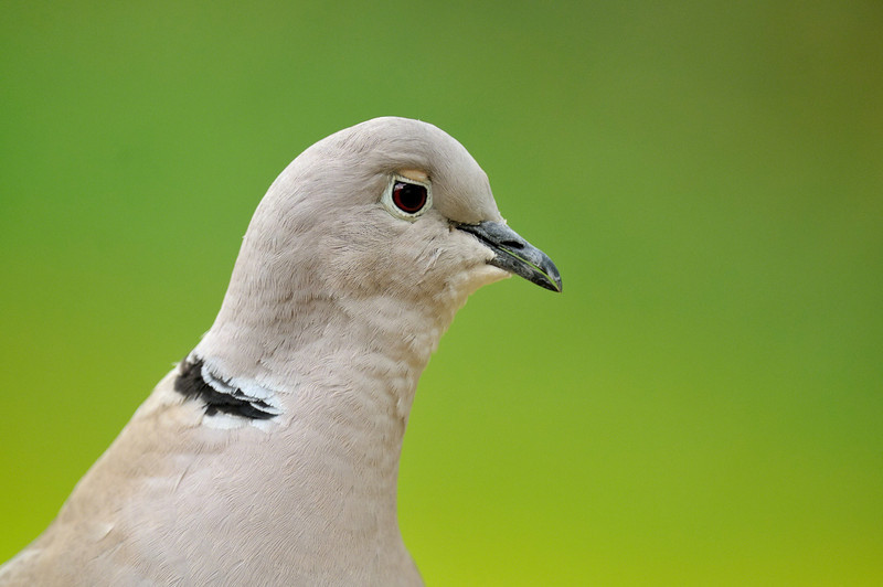 Ok! I know its only a collared dove, but hes my mate! I whistle, he comes. I think he's had a knock to the side of the head, check out the eye shape...