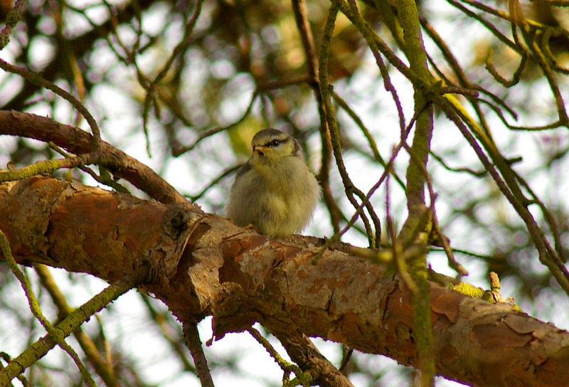 Tit chick. Back garden