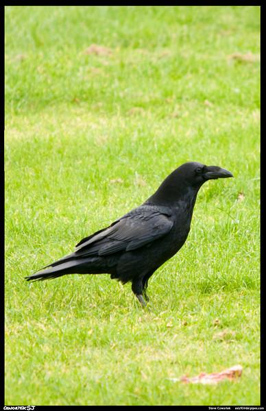 Raven, Gigrin,