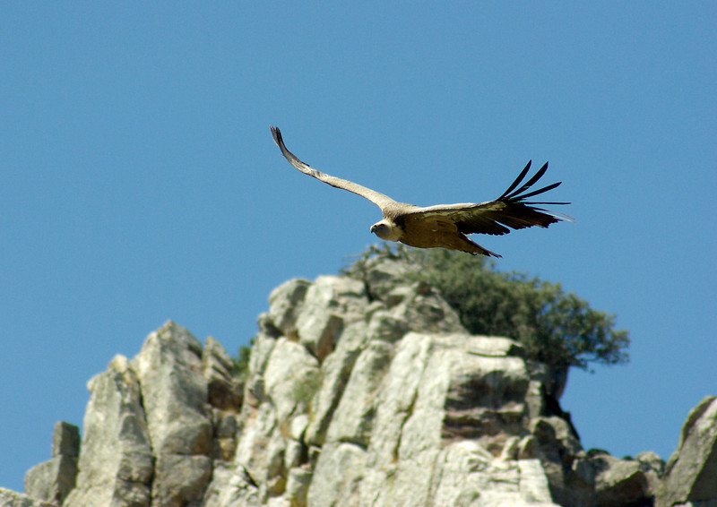 Griffon Vulture, Monfrague, Extremadura, Spain