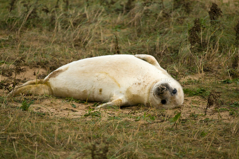 Grey seal pup, just a few days old, at Donna Nook. Just laying around, putting on weight, and posing for their ever adoring fans!