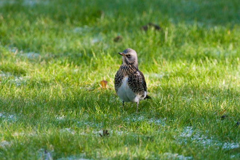 Fieldfare taken through a window, so a little blurred, but what a handsome chap!