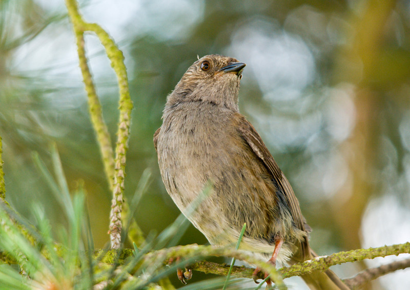 Only a little brown Dunnock but what a proud little chappie!