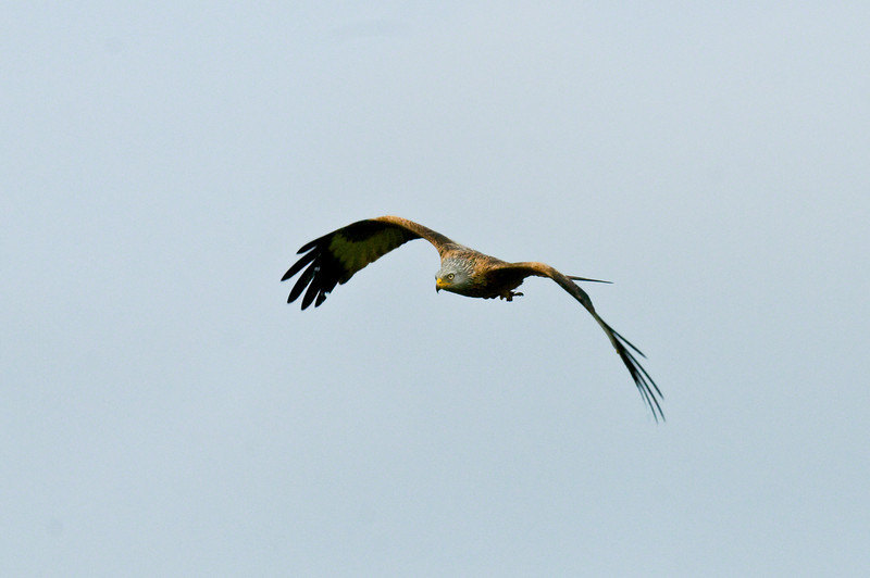 Red Kite over Oundle. Taken from back garden.