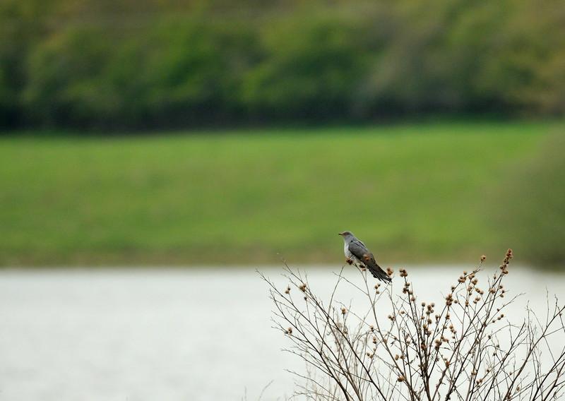 Cuckoo at Rutland Water