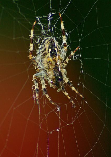 Garden Spider, back garden