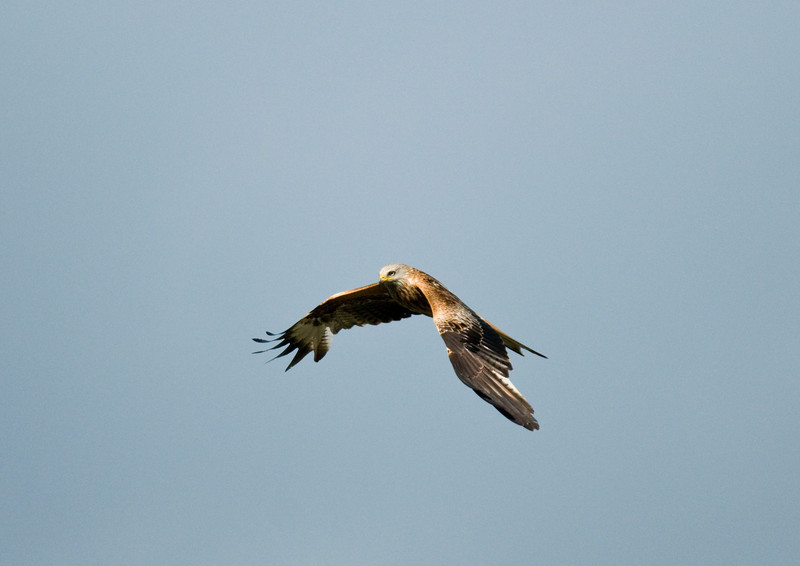 Red Kite taken from my back garden