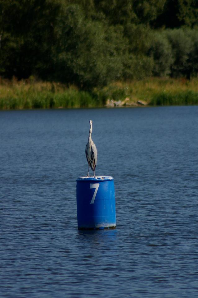 Heron, peterborough