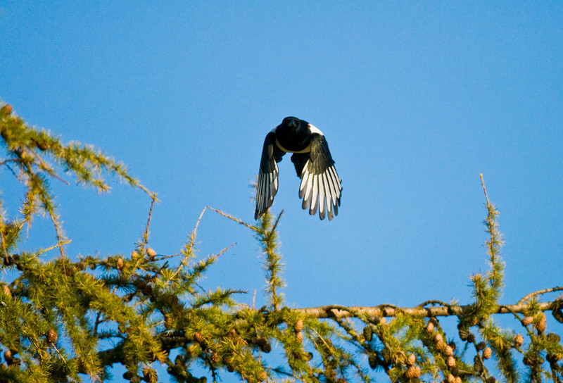 Magpie in late afternoon light