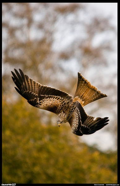 Red Kite diving, Gigrin Farm,