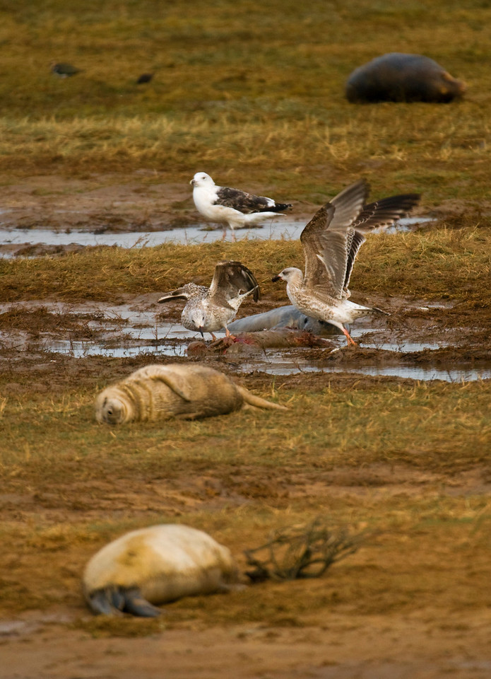 (In the spirit of National Geographic Discovery Wild HD Channel.......;-]  )<br /> The Marauding Meat Eaters of Donna Nook<br /> <br /> In a scene reminiscent of some ancient battlefield, two bloodthirsty young gulls rip open the carcass of a dead seal pup. While another pup sleeps innocently through the horror, and with scant regard for the feelings of the shocked female seal behind them, (probably the poor pups mother) they fight and tear at the corrupt corporeal remains of a once innocent creature! In the light of these new discoveries, we have to ask......Is this new behaviour about to explode onto an unsuspecting world??<br /> <br /> Please can National Geographic remove the graphic horror undertones from its broadcasting?