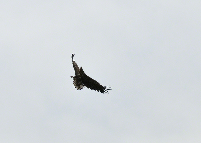 A White Tailed Sea Eagle veering to avoid being mobbed. Yet to be confirmed, but I think the mobber was a Buzzard!