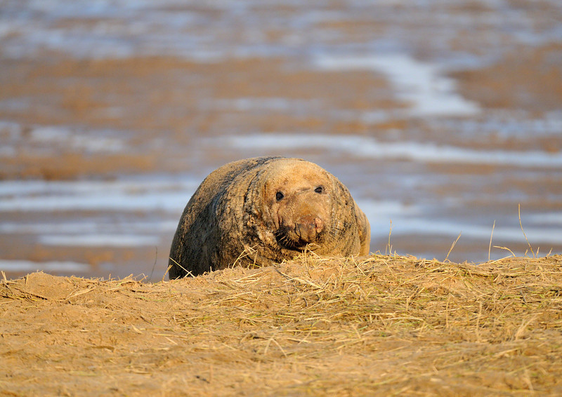 He Waits<br /> A bull grey seal waits for females to leave their pups. The two females he'd chosen to sit between weren't ready and gave him a bit of an ear bashing!