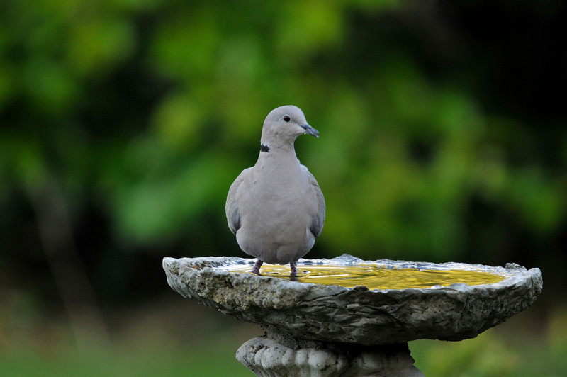Dove, Back garden