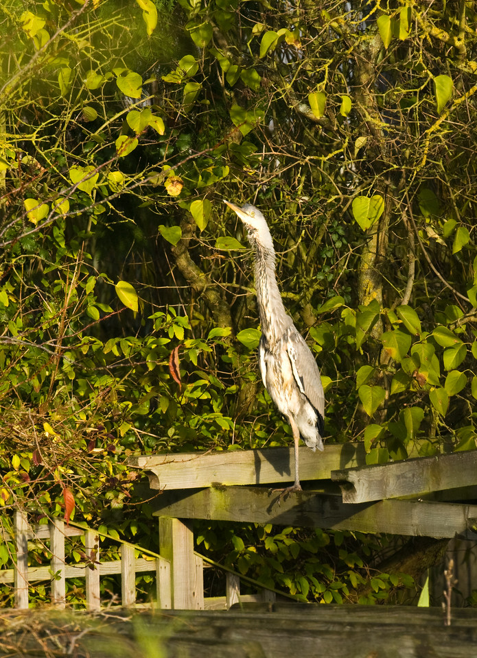 Heron on neighbours gazebo. It had just finished a good feed in another neighbours pond and landed here for a clean. This was taken as it spotted a Red Kite flying over.