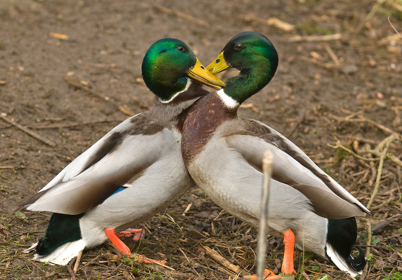 Spring is here!<br /> .....and boys will be boys. These two drakes were knocking hell out of each other, while unknowingly making a nice romantic heart for the girlies!