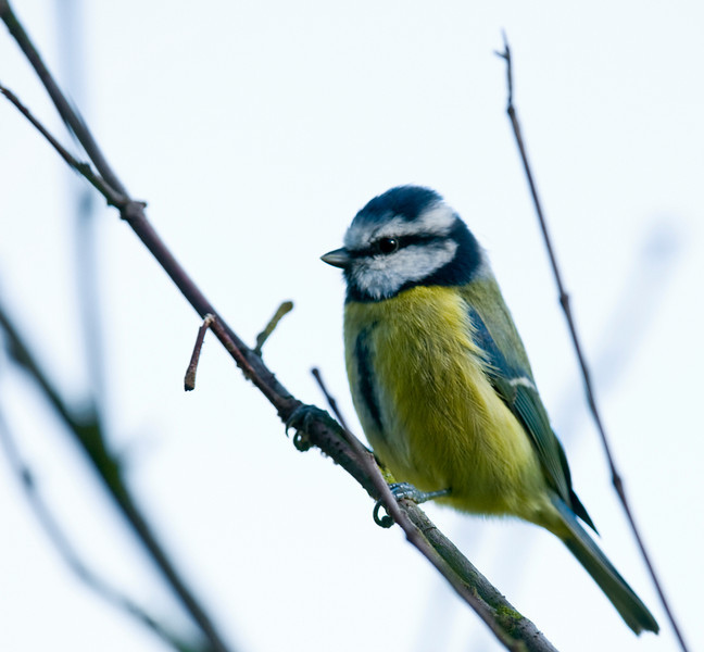 Blue Tit. In the back garden. If it had come any closer I couldn't have focussed.