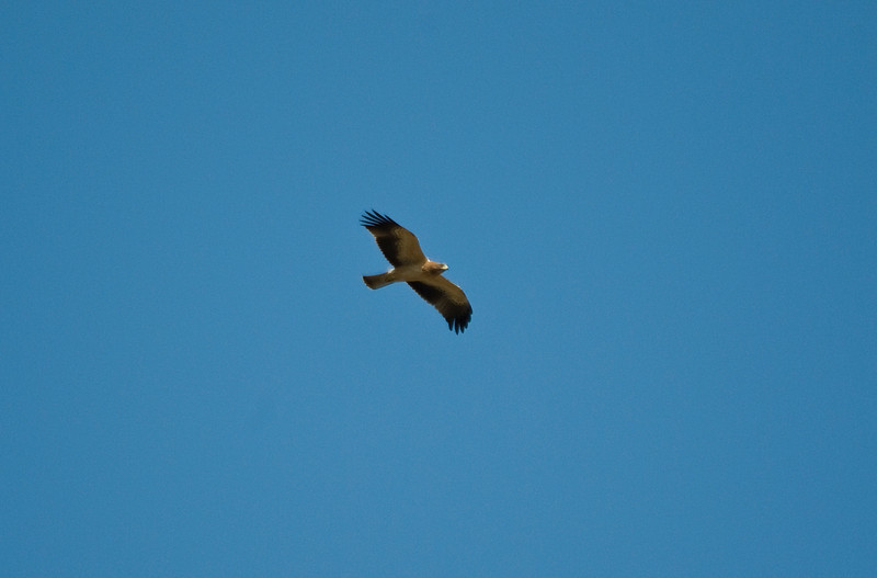 Aguila Calzada, Booted Eagle, Extremadura, Spain.