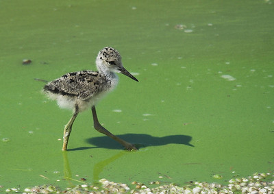 baby black neck stilt