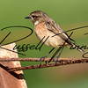 Stonechat russell finney photography (1)