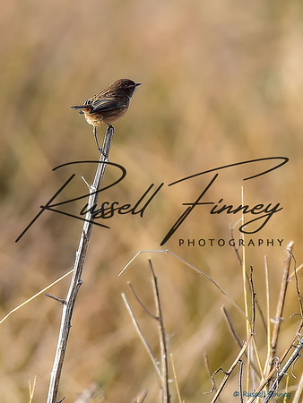 Stonechat russell finney photography (2)