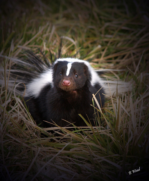 "MM 07OC2349<br /> Striped Skunk (Mephitis mephitis).  Mephitis mephitis actually means ""noxious gas, noxious gas"".<br /> <br /> Photo taken in Madison Co., MT"