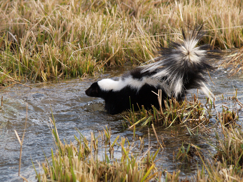 MM 07OC2390<br /> Striped Skunk<br /> <br /> Photo taken in Madison Co., MT