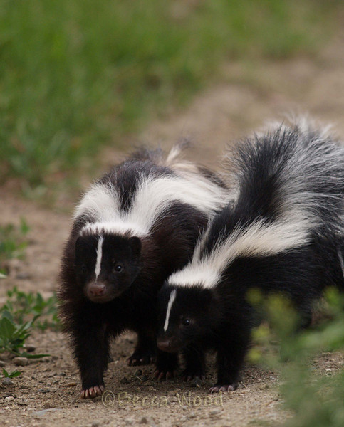 MM 09JU5411<br /> <br /> Striped Skunk (Mephitis mephitis).  Uses ground burrows, abandoned building foundations, and wood or rock piles as den sites. Will use dens created by other animals.