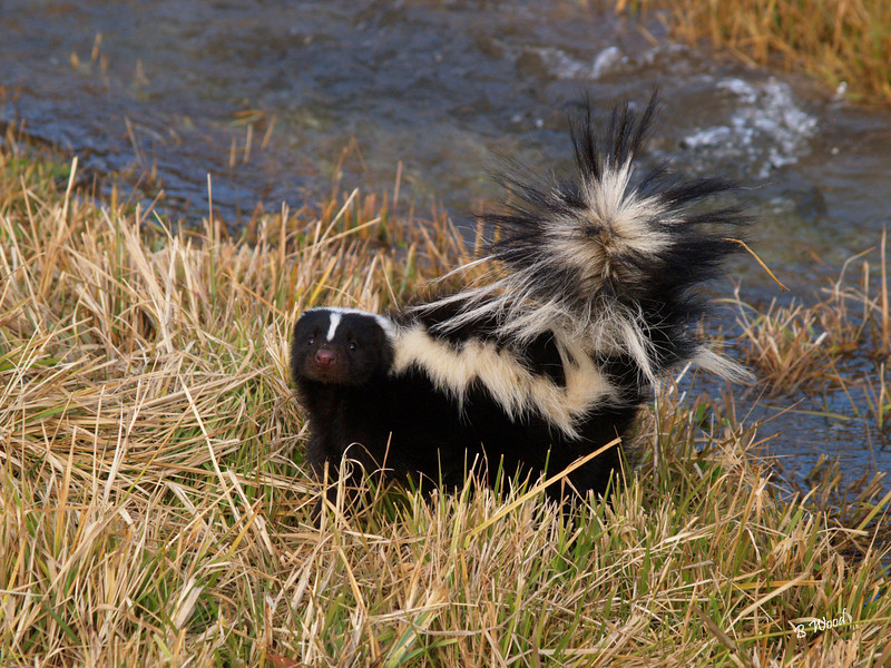 MM 07OC2367<br /> Striped Skunk (Mephitis mephitis).<br /> <br /> Photo taken in Madison Co., MT