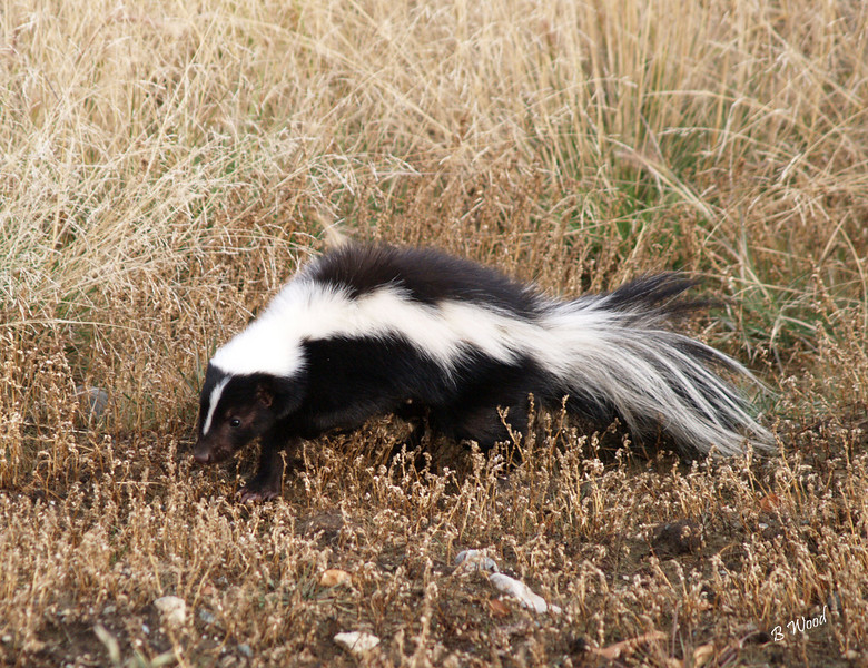 MM 07OC2336<br /> Striped Skunk (Mephitis mephitis).  Before a skunk sprays it goes through a series of warning motions. Skunks will stamp their front feet, shuffle backwards, hiss and arch their tails before spraying. <br /> <br /> Photo taken in Madison Co., MT