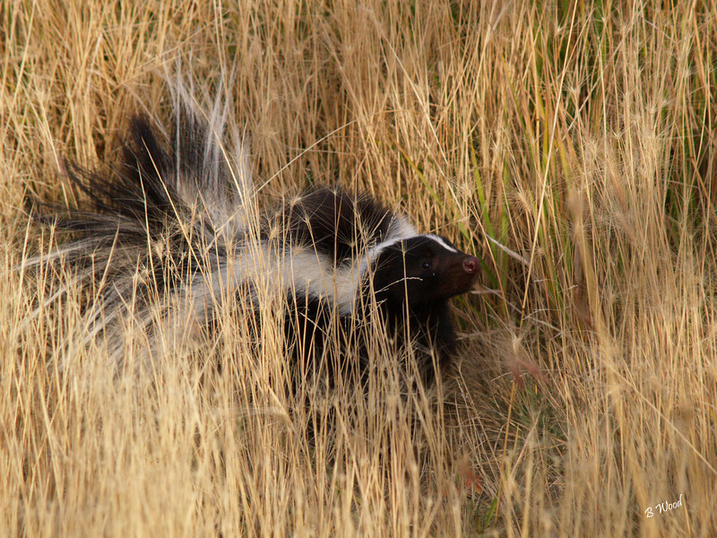 MM 07OC2324<br /> Striped Skunk (Mephitis mephitis).  Skunks can spray five to eight times during one incident from glands that hold only about one tablespoon of scent! <br /> <br /> Photo taken in Madison Co., MT