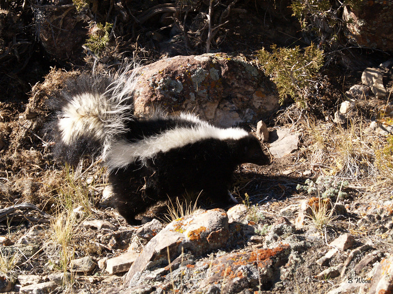 MM 07OC2228<br /> Striped Skunk (Mephitis mephitis).<br /> <br /> Photo taken in Beaverhead Co., MT