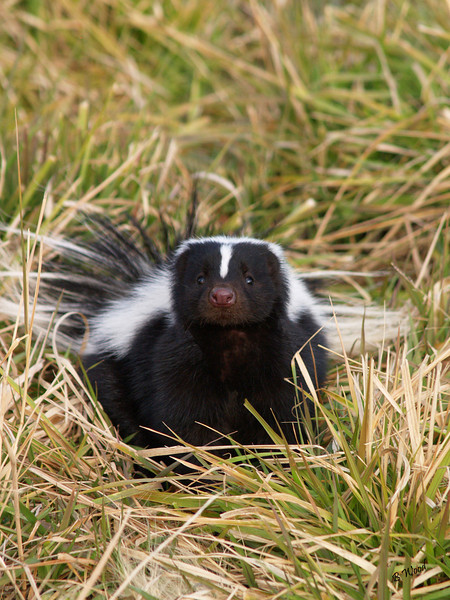 MM 07OC2351<br /> Striped Skunk (Mephitis mephitis).  Skunks have poor vision but their smell and hearing is good.<br />   <br /> <br /> Photo taken in Madison Co., MT
