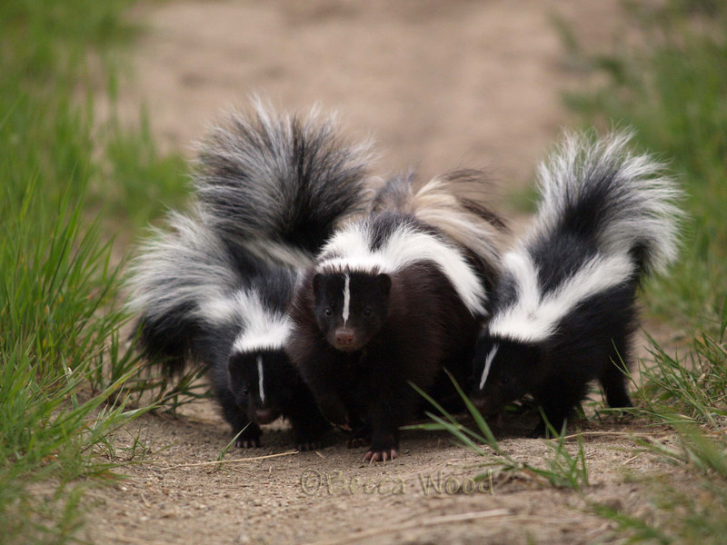 MM 09JU5404<br /> <br /> Mother skunk with four babies.  She had seven total.  She looked very frazzled.  As she was coming towards me, the babies kept going off in different directions, she'd have to stop and go back and get them...it took her a long time to get where she was going!!