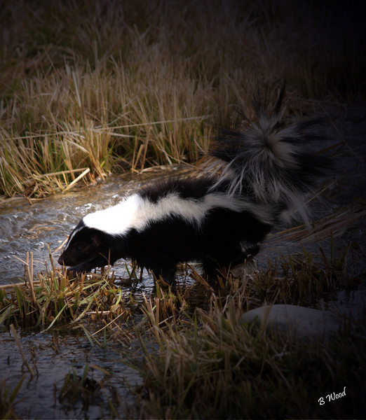 MM 07OC2379<br /> Striped Skunk (Mephitis mephitis).<br /> <br /> Photo taken in Madison Co., MT