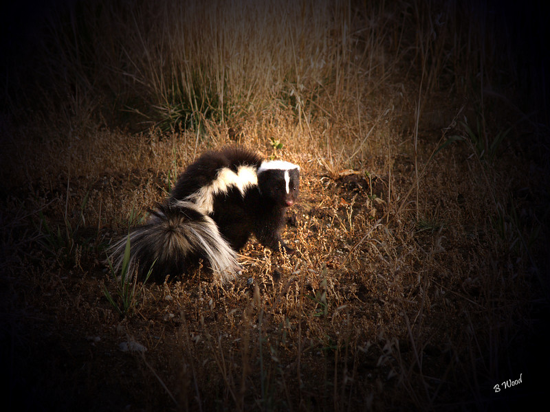 MM 07OC2313<br /> Striped Skunk (Mephitis mephitis).  <br /> <br /> Photo taken in Madison Co., MT