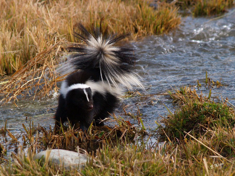MM 07OC2377<br /> Striped Skunk (Mephitis mephitis).<br /> <br /> Photo taken in Madison Co., MT