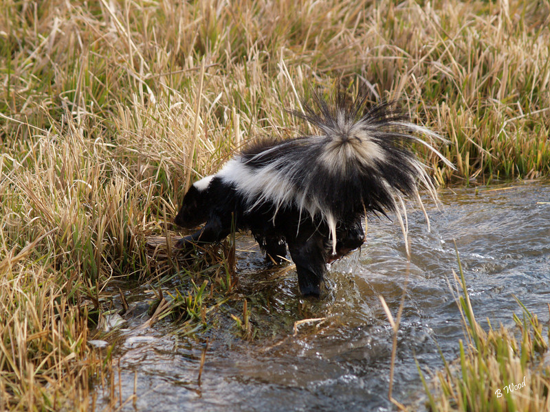 MM 07OC2397<br /> Striped Skunk (Mephitis mephitis).  Mostly nocturnal and does not hibernate. <br /> <br /> Photo taken in Madison Co., MT