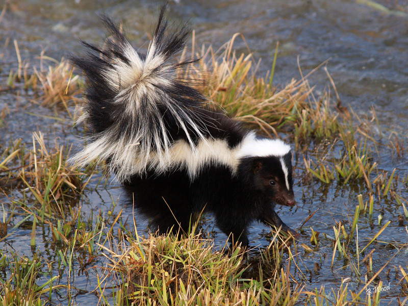 MM 07OC2361<br /> Striped Skunk (Mephitis mephitis).  Skunks are resistant to snake venom and can survive 10 times the venom needed to kill an animal of the same size.<br /> <br /> Photo taken in Madison Co., MT
