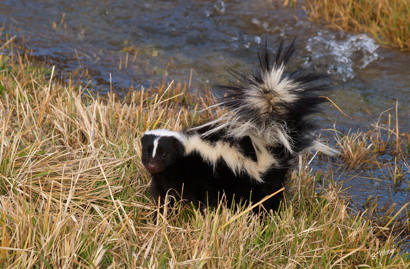 MM 07OC2365<br /> Striped Skunk (Mephitis mephitis).  Until recently, skunks were classified in the weasel family, Mustelidae, but now, based on molecular evidence, they are in their own separate family, Mephitidae.<br /> <br /> <br /> Photo taken in Madison Co., MT