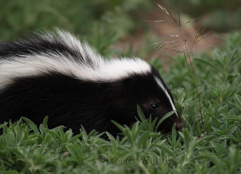 MM 09JU5348<br /> <br /> Baby skunk