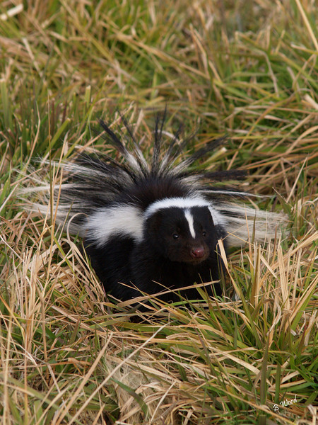MM 07OC2343<br /> Striped Skunk (Mephitis mephitis).  <br /> <br /> Photo taken in Madison Co., MT