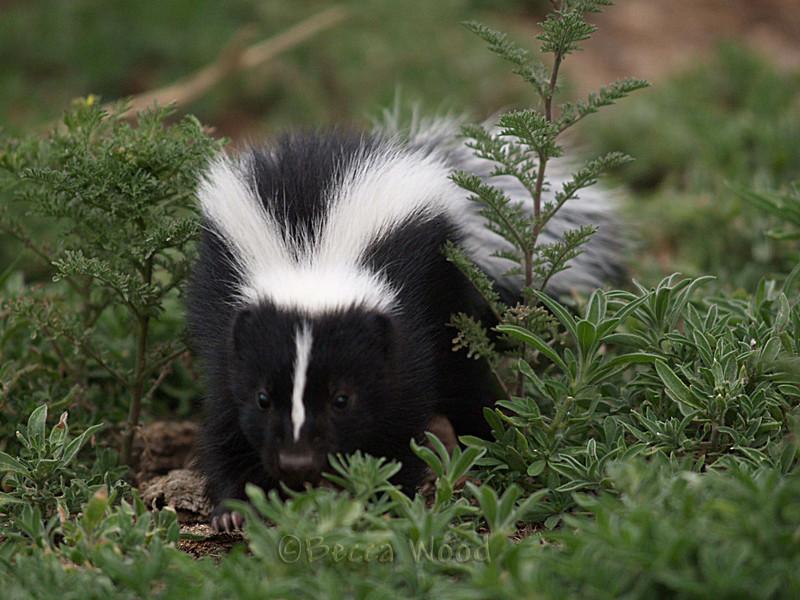 MM 09JU5346<br /> <br /> Baby skunk.