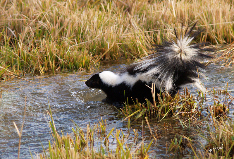 MM 07OC2389<br /> Striped Skunk (Mephitis mephitis).<br /> <br /> Photo taken in Madison Co., MT