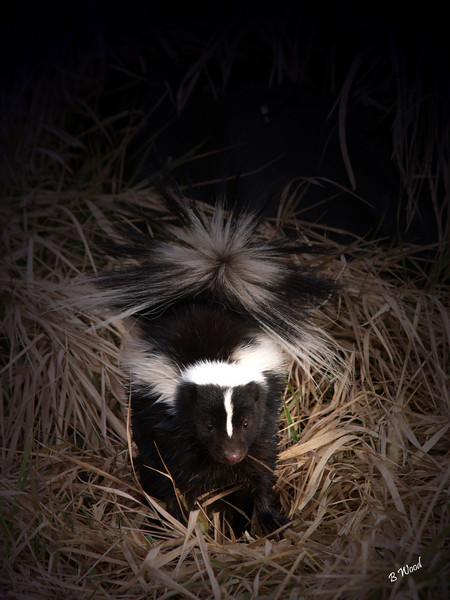 MM 07OC2411<br /> Striped skunk (Mephitis mephitis).  They are about the size of a house cat.<br /> <br /> Photo taken in Madison Co., MT