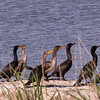 A Conclave of Cormorants